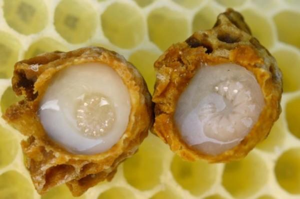 Larvas reales alimentadas con jalea