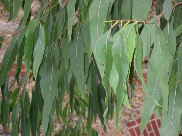 ¿Para qué sirve el eucalipto?