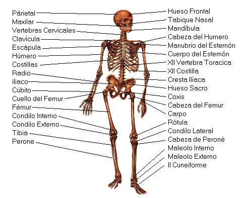 esqueleto1