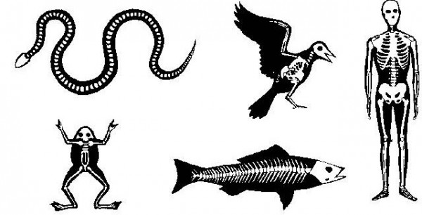 Para qué sirven los huesos en los vertebrados