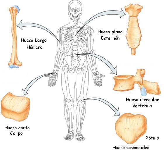 vertebratipos de huesos