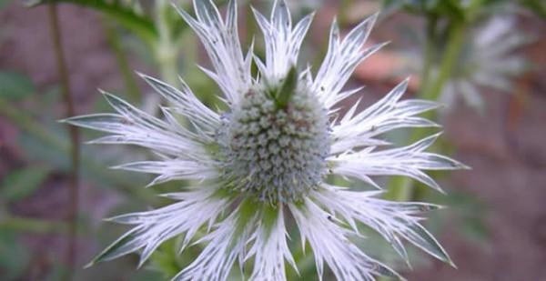 La hierba del sapo, ¿Qué es y para qué sirve?