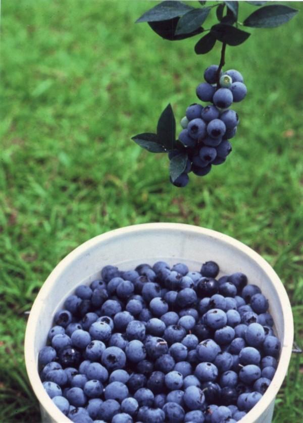 plantas-de-arandano-blueberry-4979-MLA4008155232_032013-F