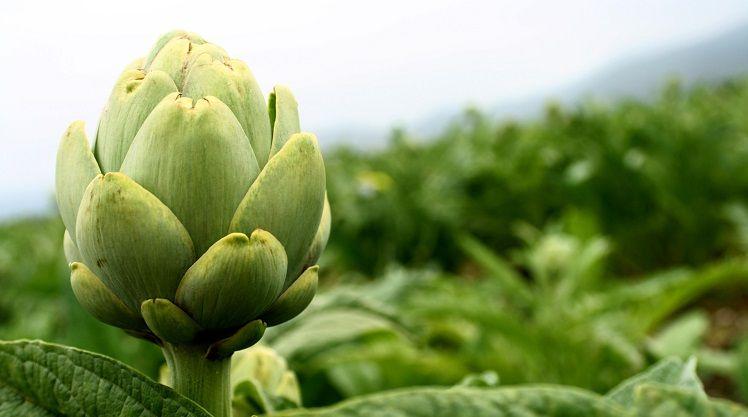 alcachofa-planta-medicinal-propiedades-beneficios