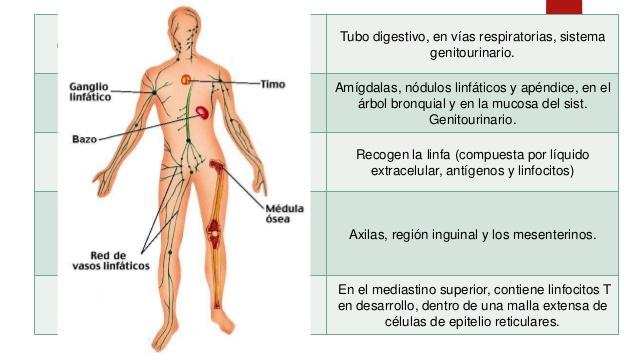 Para Qué Sirve el sistema linfático? - Beneficios, Usos y Propiedades