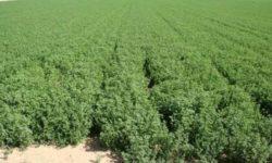 Para qué sirve la Alfalfa