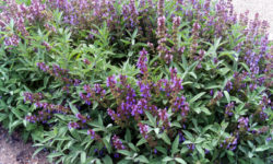Para qué sirve la Salvia
